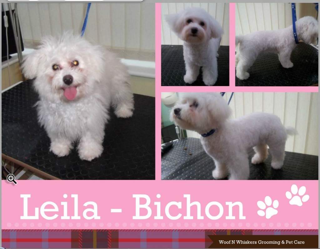 Bichon Leila - Dog Grooming and Dog Home Boarding Client